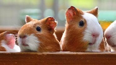Where Do Guinea Pigs Come From?