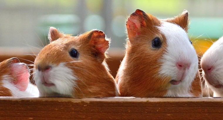 guinea-pigs-come