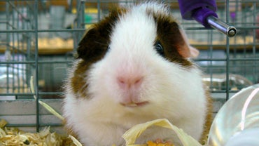 Do Guinea Pigs Sleep With Their Eyes Open?