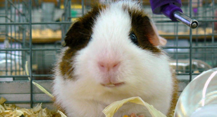 guinea-pigs-sleep-eyes-open