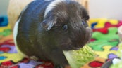 Can Guinea Pigs Live Outside? | Reference com