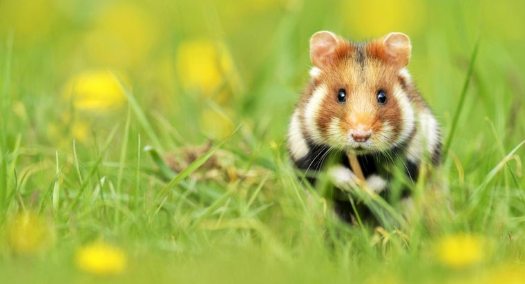 hamsters-live-wild