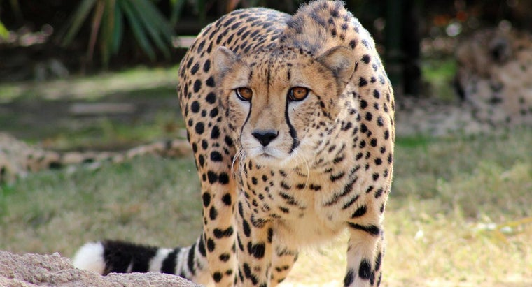 happen-cheetah-becomes-extinct