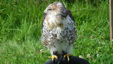 What Is a Hawk's Lifespan?