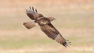 Are Hawks Carnivores, Herbivores or Omnivores?