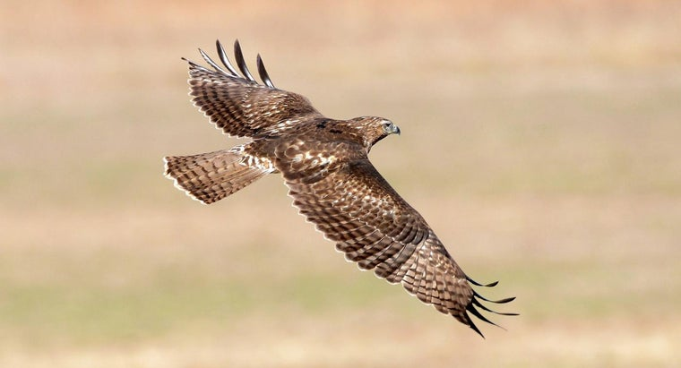 hawks-carnivores-herbivores-omnivores