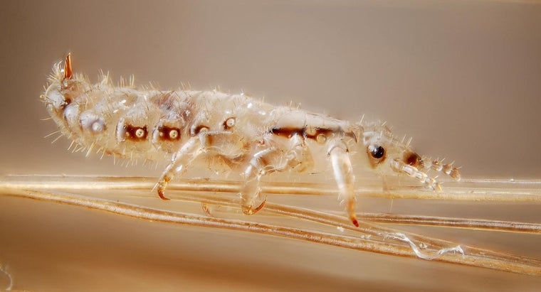 head-lice-reproduce