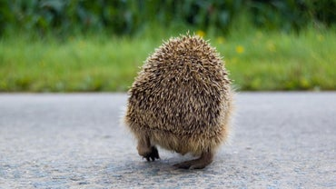 What Do Hedgehogs Eat and Drink?