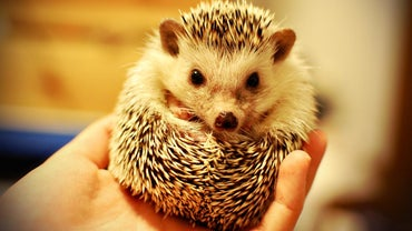 Why Are Hedgehogs Illegal?