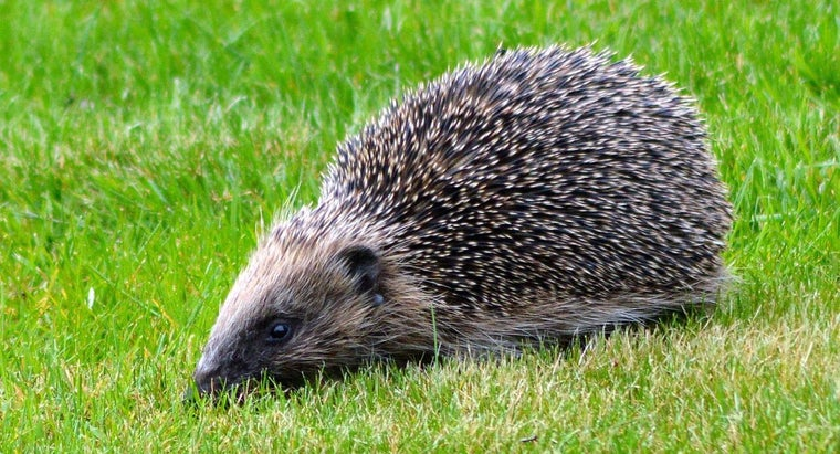 hedgehogs-live-wild