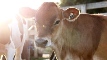 What Is a Heifer Cow?