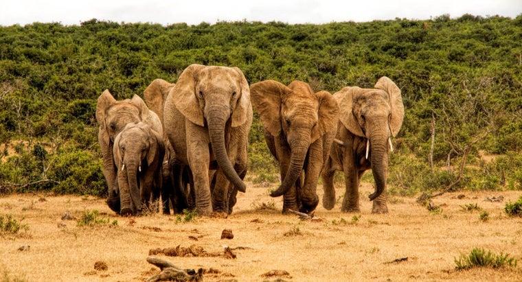 herd-elephants-called