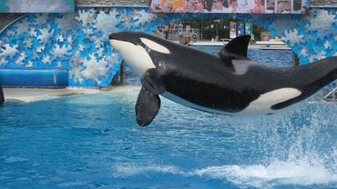 How High Can a Killer Whale Jump Out of the Water?