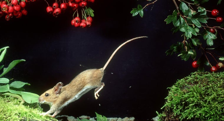 high-can-mouse-jump