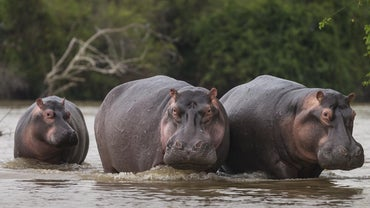Why Was the Hippo Hunted in Ancient Egypt?