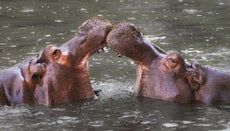 How Do Hippos Protect Themselves?