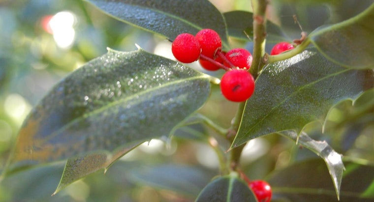 holly-berries-poisonous-dogs