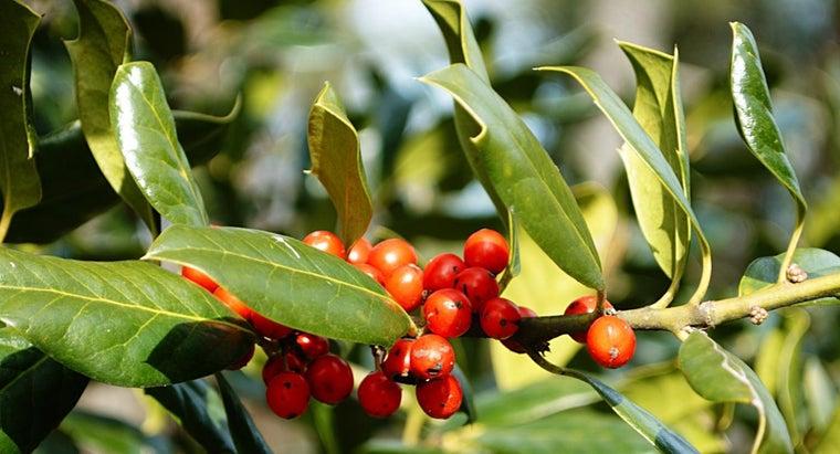 holly-bush-berries-poisonous-humans