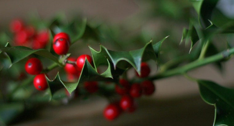 holly-leaves-poisonous