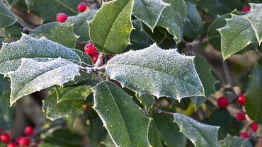 What Does Holly Symbolize?