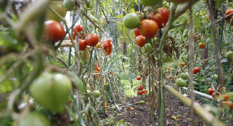 homegrown-tomatoes-mushy