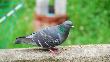 What Do Homing Pigeons Eat?