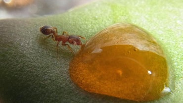 What Do Honey Ants Eat?