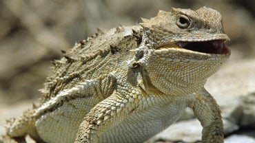 How Do Horned Lizards Protect Themselves?