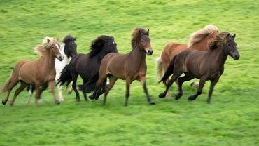 How Do Horses Breed?