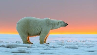 How Big Do Polar Bears Get?