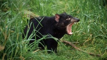How Did Tasmanian Devils Become Endangered?