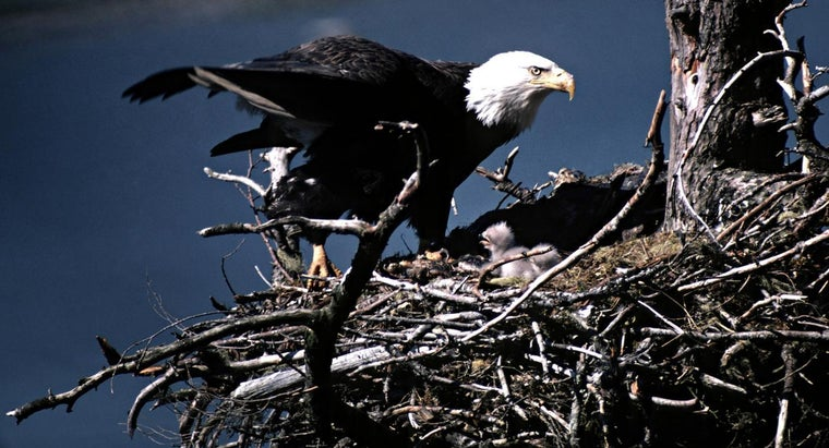 bald-eagles-reproduce