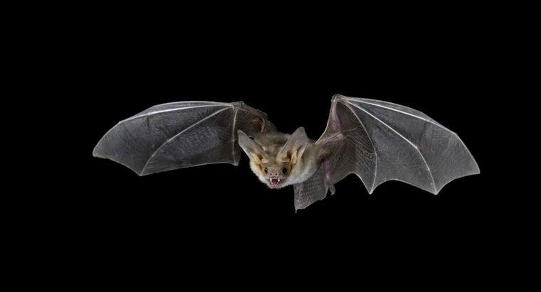 bats-catch-prey-night