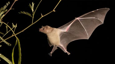 How Do Bats Navigate?