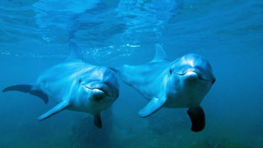 How Do Bottlenose Dolphins Reproduce?