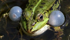 How Do Frogs Croak?