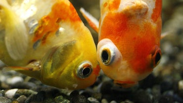 How Do Goldfish Make Babies?