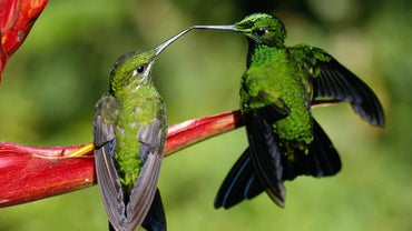 How Do Hummingbirds Reproduce?