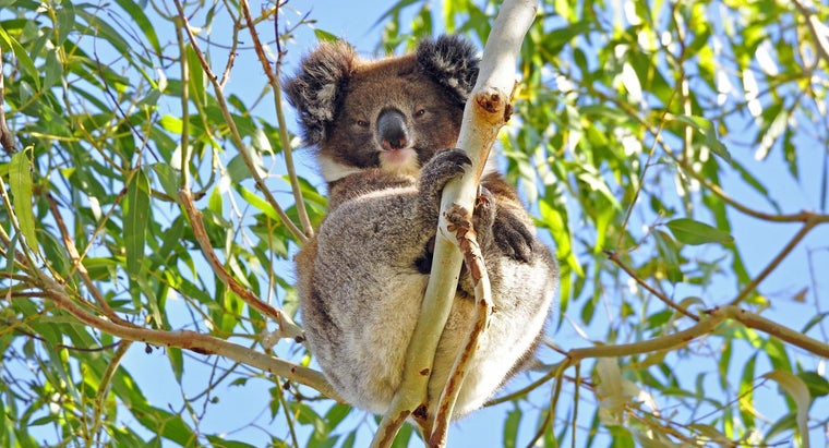 koalas-protect-themselves