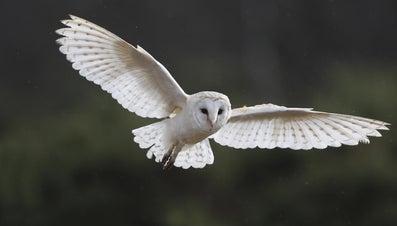 How Do Owls Communicate?