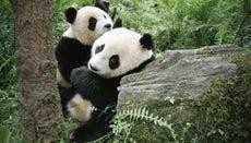 How Do Pandas Give Birth?