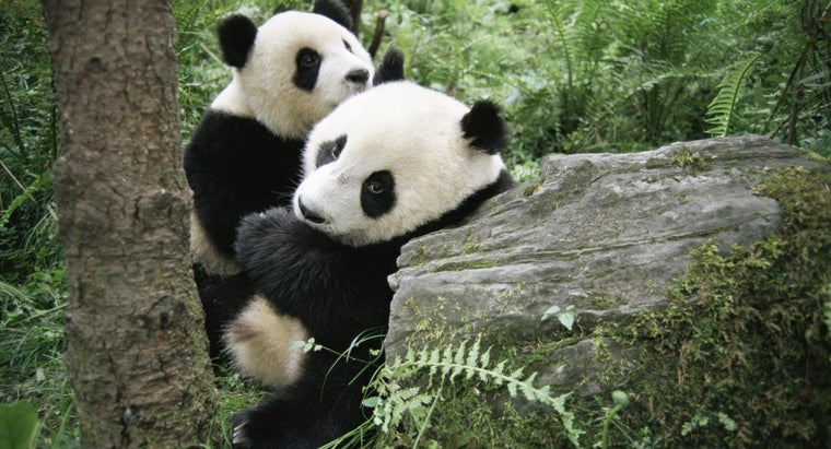 pandas-give-birth