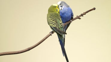 How Do Parakeets Reproduce?
