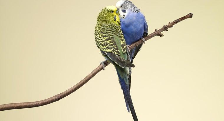 parakeets-reproduce