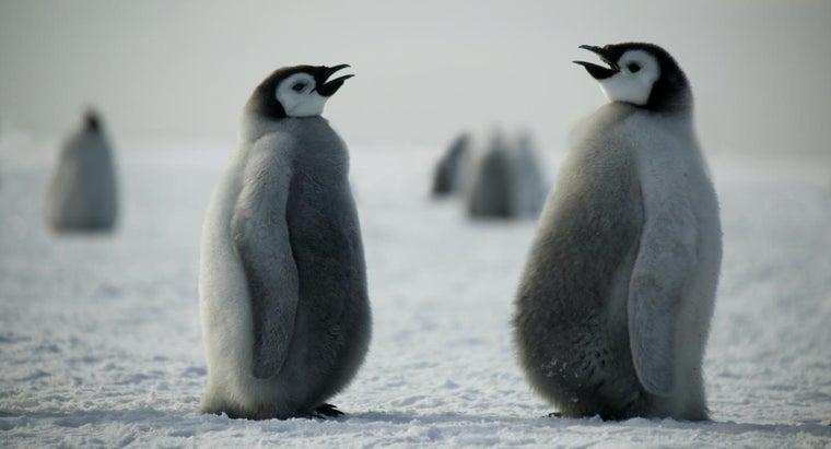 penguins-communicate