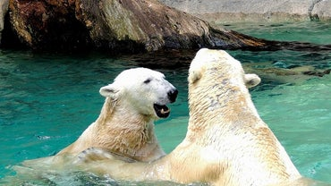 How Do Polar Bears Reproduce?