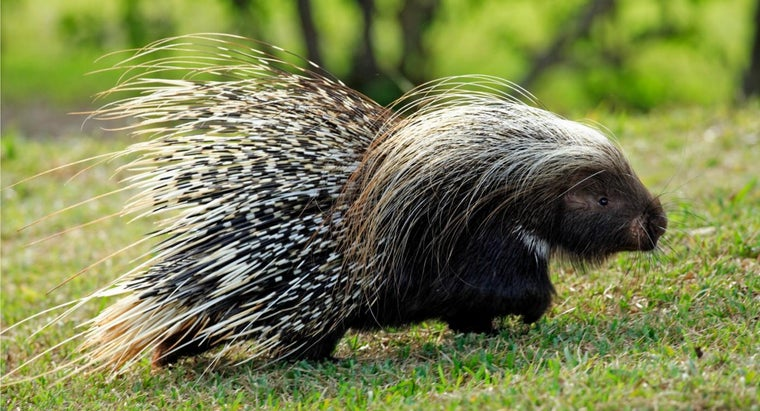 porcupines-protect-themselves