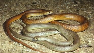 How Do Snakes Reproduce?