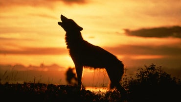 How Do Wolves Communicate?
