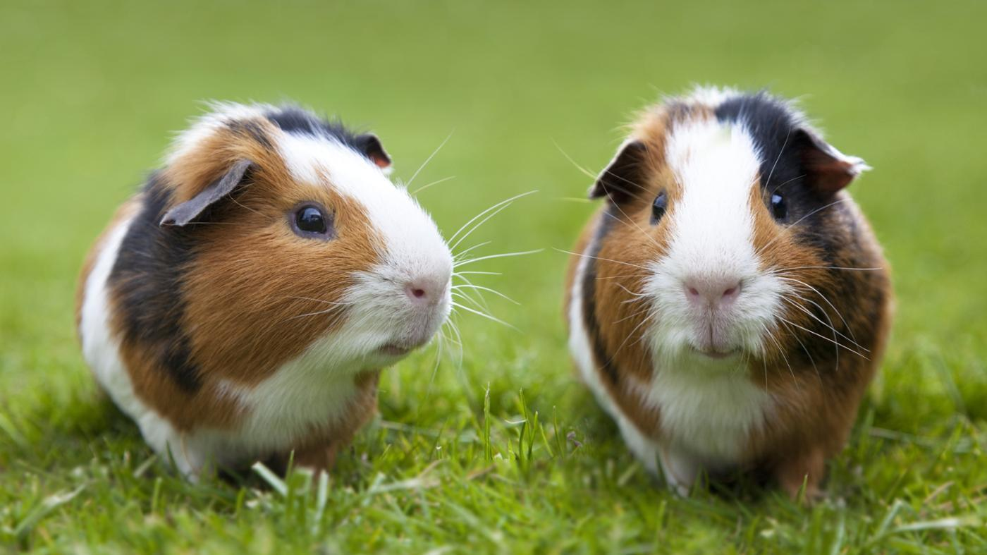 How Do You Tell Difference Between Female And Male Guinea -5532